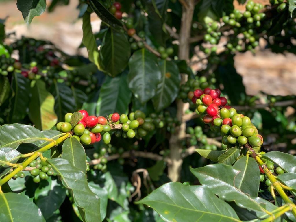 ciliegie di caffè brasiliano